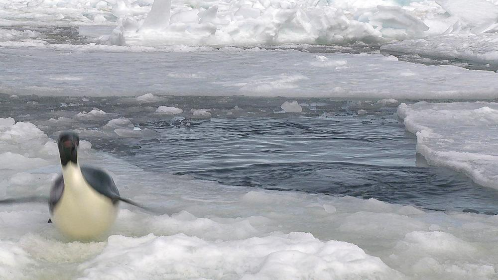 Emperor penguin (Aptenodytes forsteri) exiting water to camera, Cape Washington, Antarctica - 1169-360