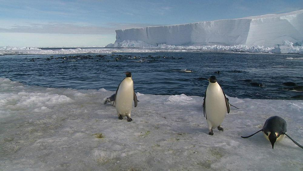 Emperor penguins (Aptenodytes forsteri) swimming in wide ice hole, some exiting water to camera, Cape Washington, Antarctica - 1169-368