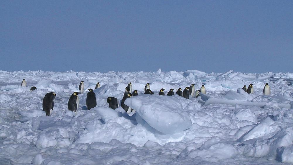 Emperor penguins (Aptenodytes forsteri) waiting at edge of sea ice, Cape Washington, Antarctica - 1169-6