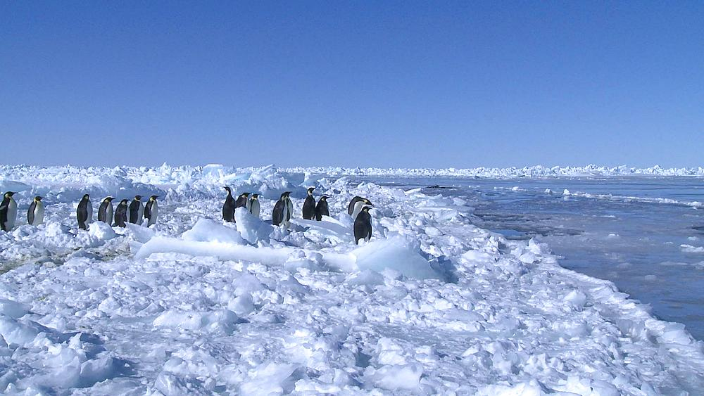 Emperor penguins (Aptenodytes forsteri) waiting at edge of sea ice and entering sea (other group in hole in sea ice in background), Cape Washington, Antarctica - 1169-64