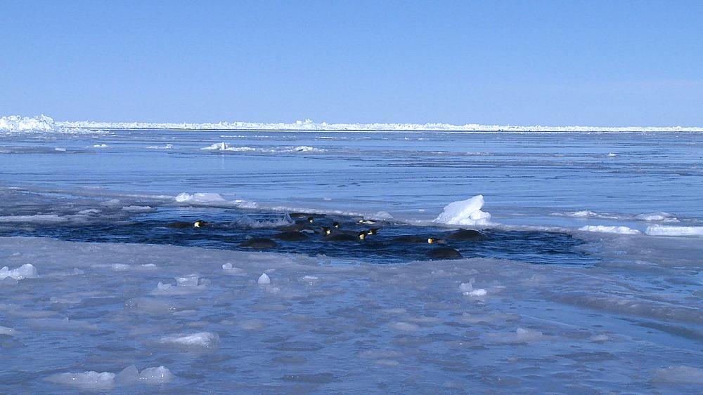 Emperor penguins (Aptenodytes forsteri) swimming and preening in hole in sea ice, Cape Washington, Antarctica