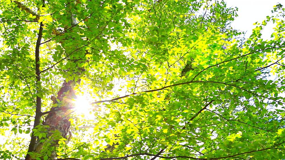 Sunlight filtering through green leaves - 1172-1030