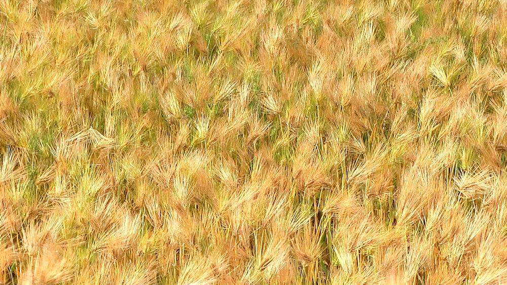Barley field in the wind - 1172-1042