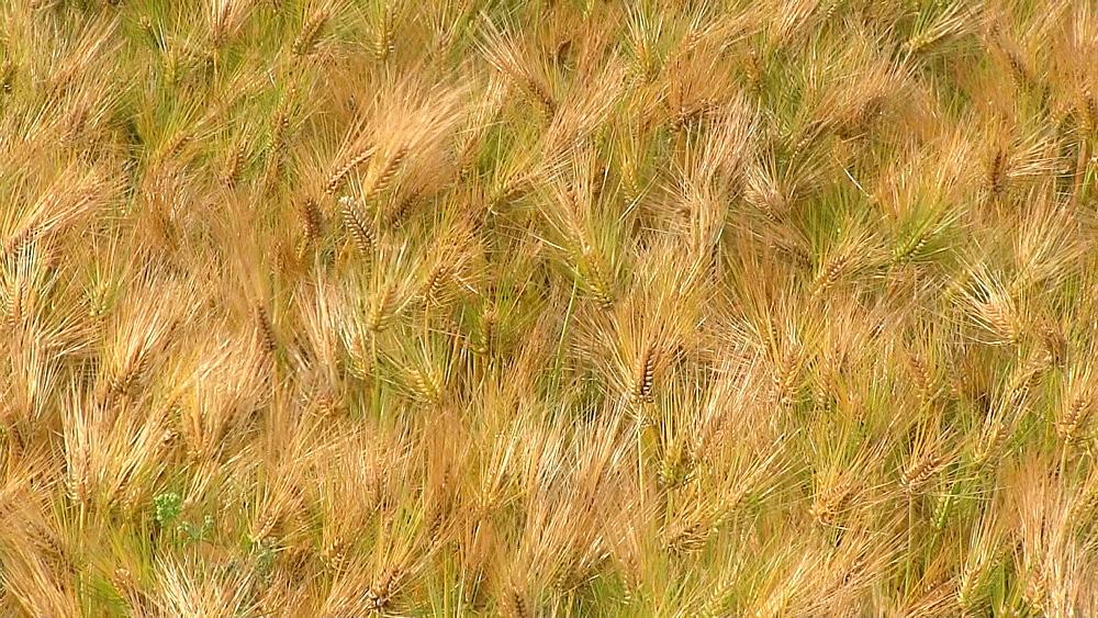 Barley field in the wind - 1172-1044