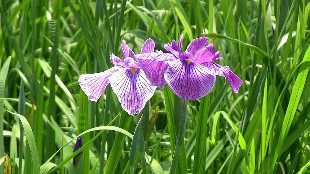 Iris - 1172-1047