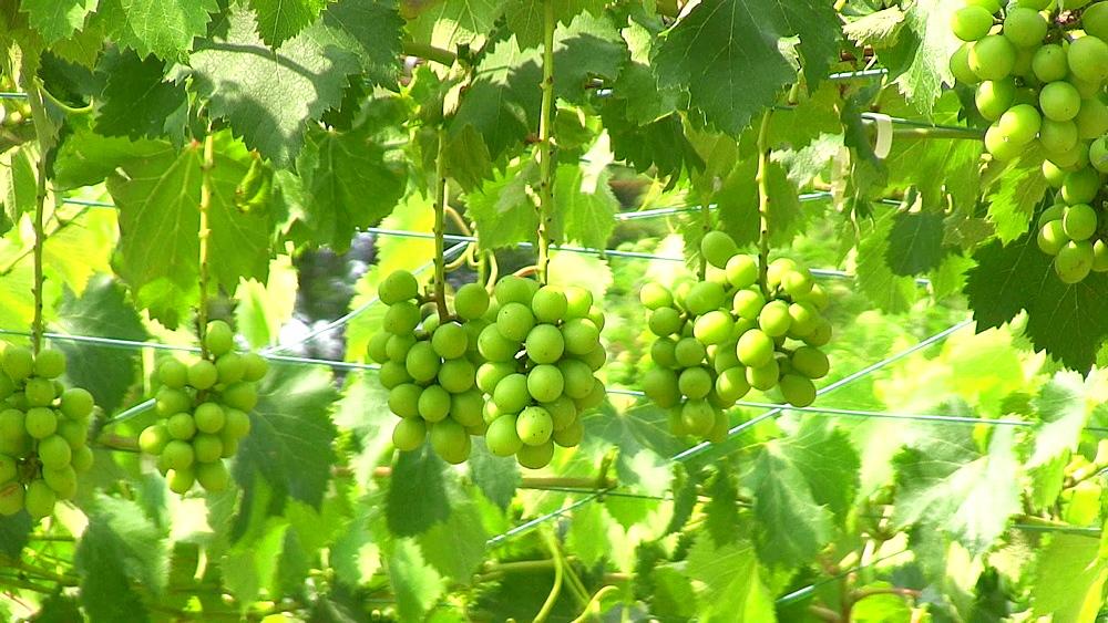 Grape vines - 1172-1055