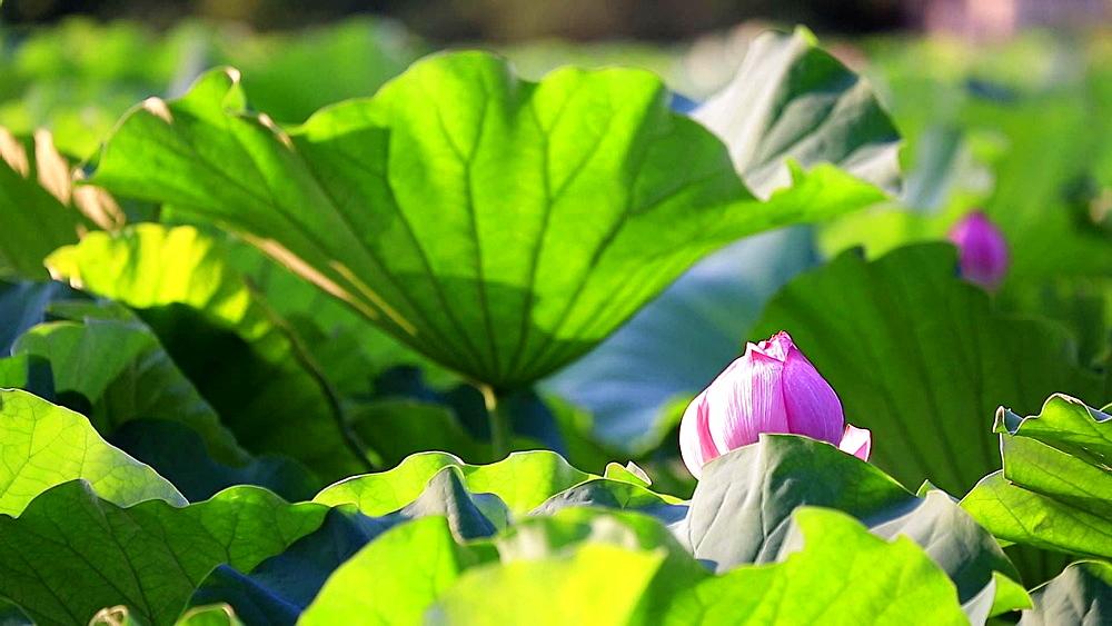 Lotus field at Ueno Park, Tokyo, Japan - 1172-1153