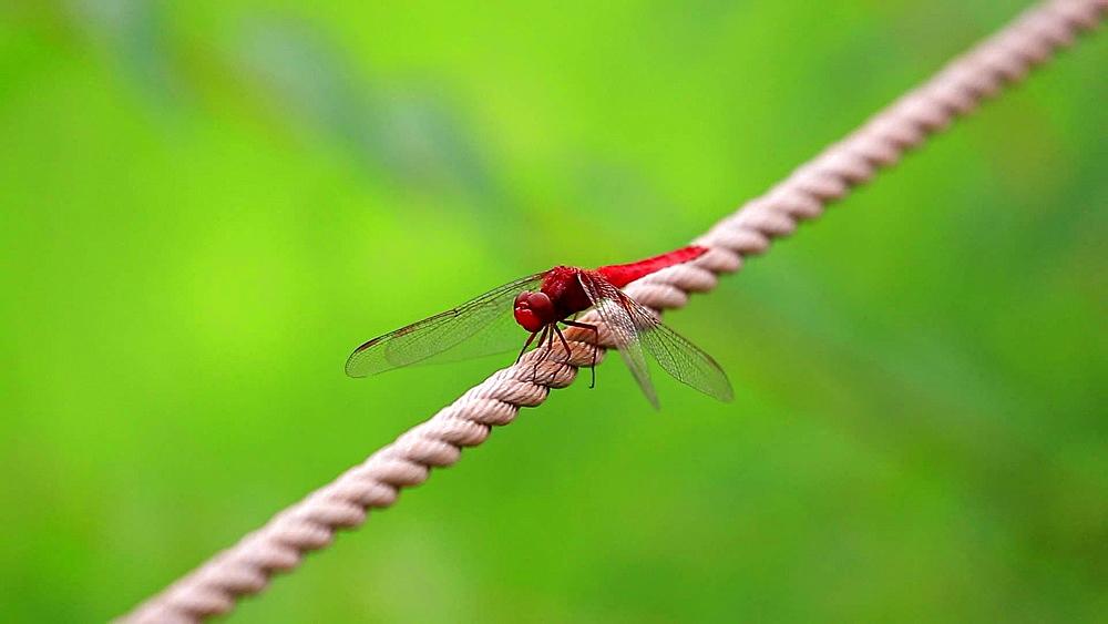 Dragonfly close-up at Showa Memorial Park, Tokyo, Japan - 1172-1218