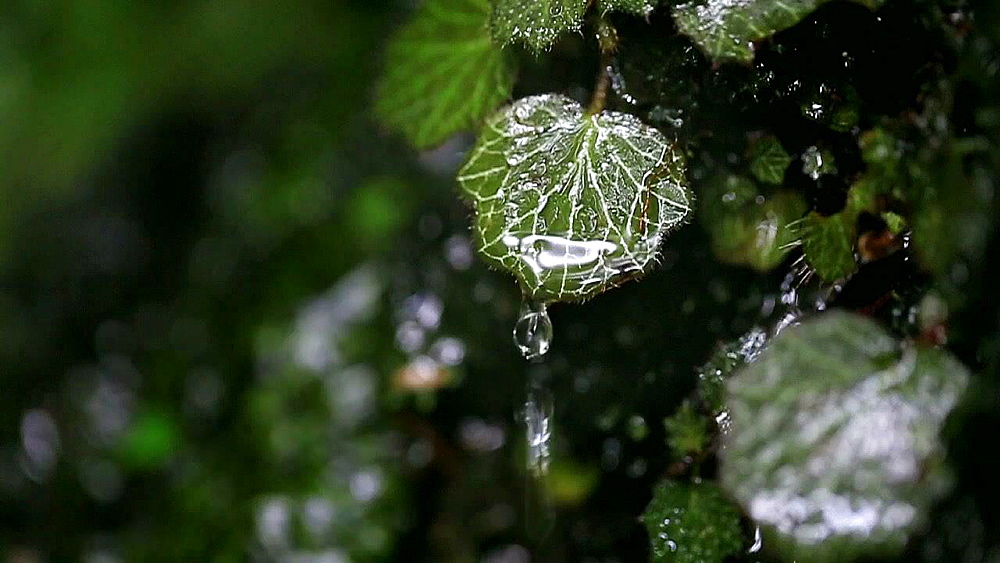 Water dropping from green leaf at mount Takao, Tokyo, Japan - 1172-1385