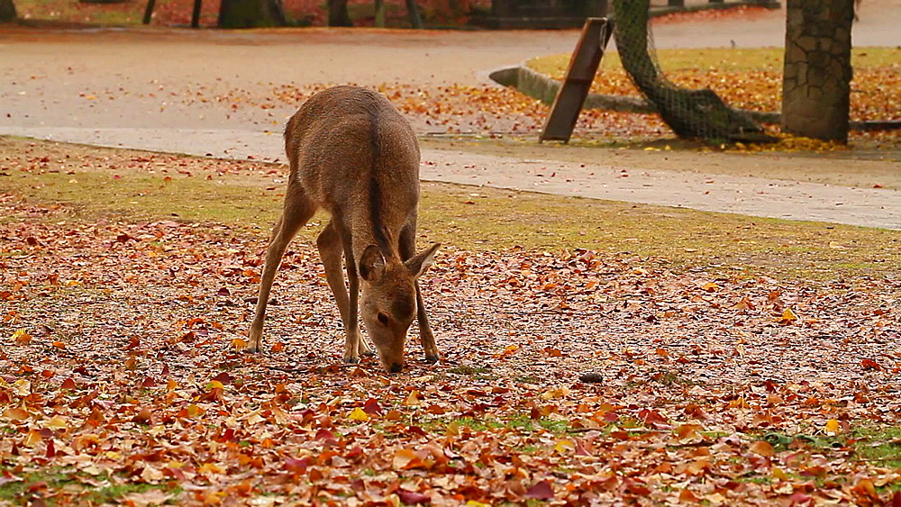 Sika Deer At Nara Park, Nara, Japan - 1172-1763