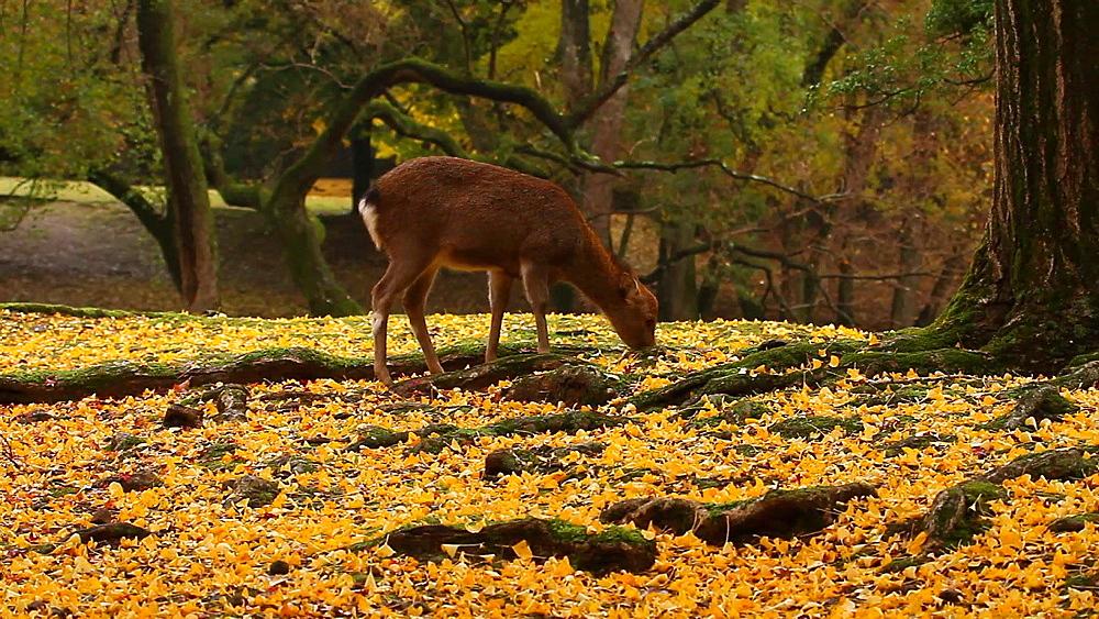 Sika Deer At Nara Park, Nara, Japan - 1172-1764