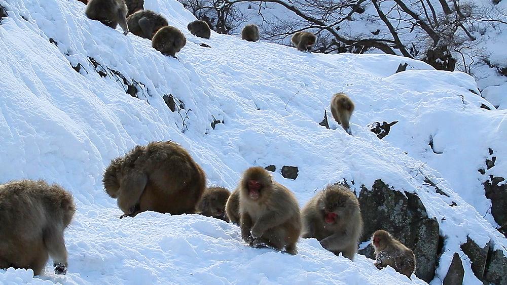 Japanese Snow Monkeys, Nagano Prefecture, Japan - 1172-1776