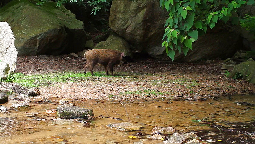 Wild boar, Hyogo Prefecture, Japan - 1172-1797