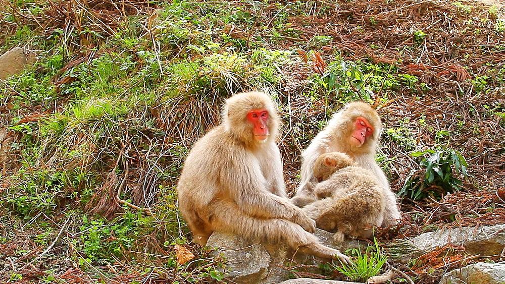 Japanese snow monkeys in nature - 1172-1799