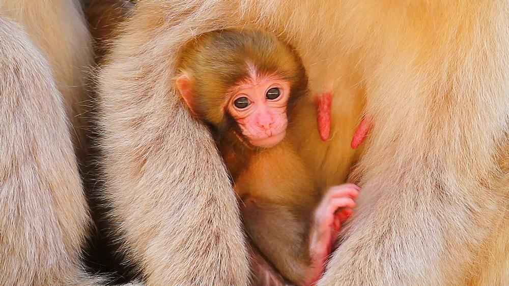 Japanese snow monkey with her newborn - 1172-1806