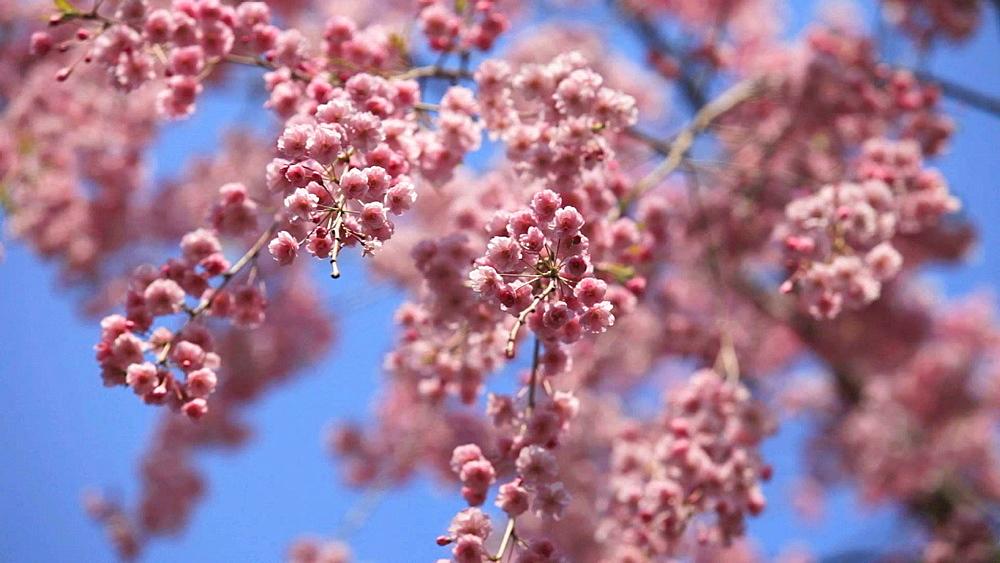 Cherry blossoms - 1172-985