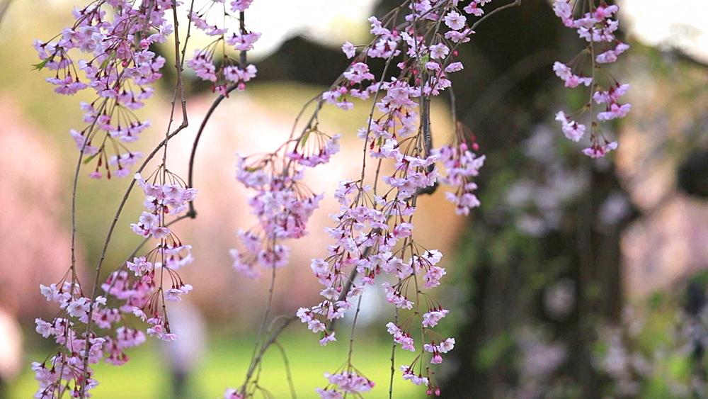 Cherry blossoms - 1172-991