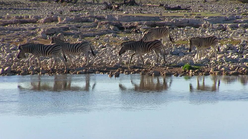 Small herd of Burchell's Zebra coming down to the water, a waterhole, to drink, Etosha National Park, Namibia, Africa