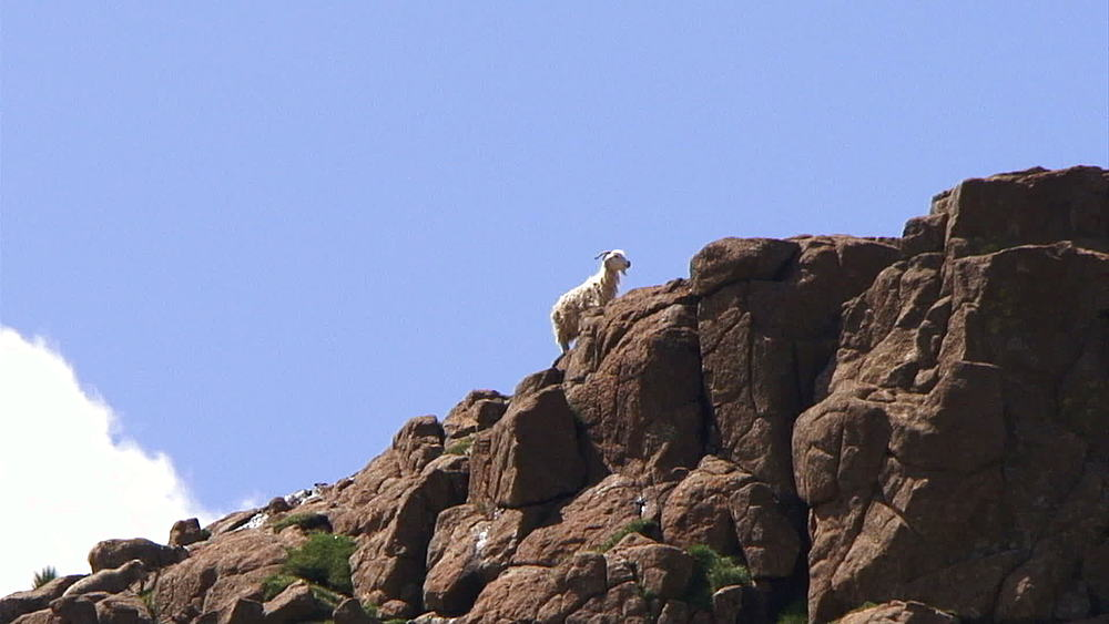 Goat and sheep climbing a rocky hill in Lesotho, Africa
