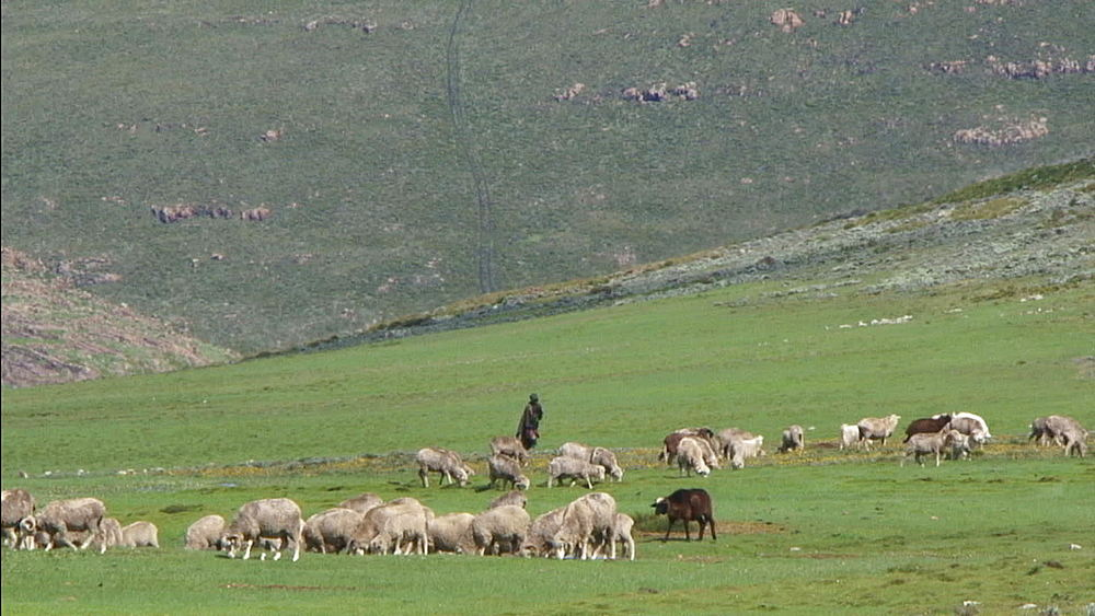 Traditional Lesotho Shepard tending to sheep in Lesotho mountains, green grass, livestock, Basotho, Africa - 1182-120