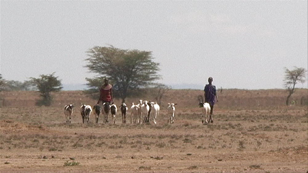Traditional Kenyan goat herders, shepherds walking with their goats in a heat wave, dry bush, drought, Kenya, Africa - 1182-136