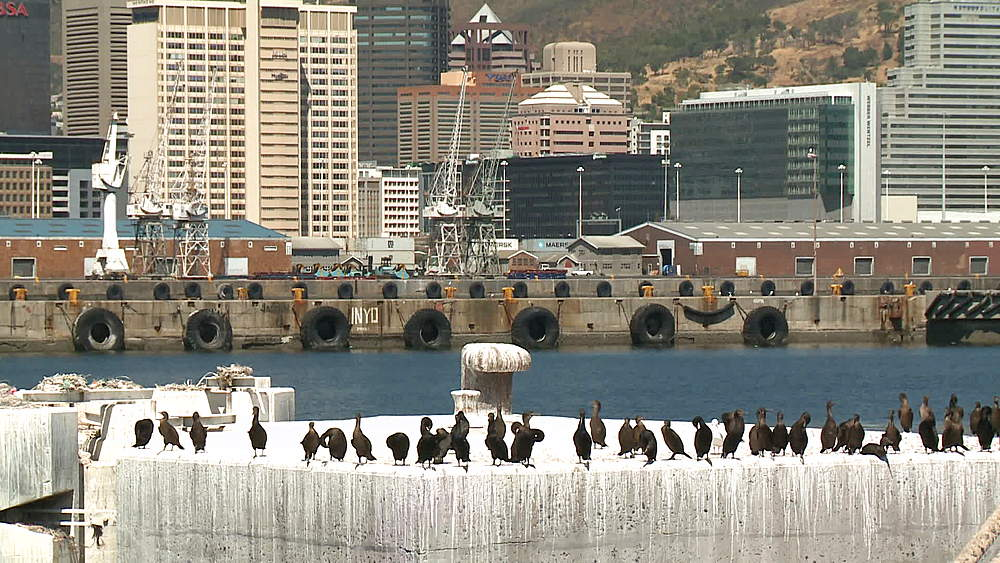 A large number of Cormorants sitting on a concrete mooring in Cape Town Harbour, Cape Town, South Africa - 1182-147
