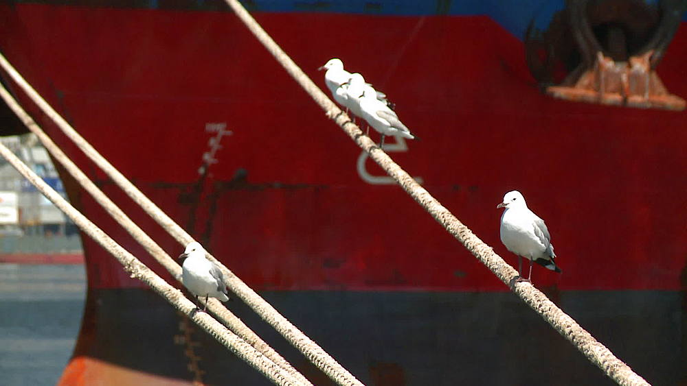 Seagulls sitting on mooring ropes of a ship in Cape Town Harbour, Cape Town, South Africa - 1182-150