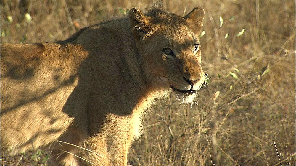 A young adolescent Lion, (Panthera leo) in dry grass looking at camera, licking lips. Africa, African bushveld, dry winter grass