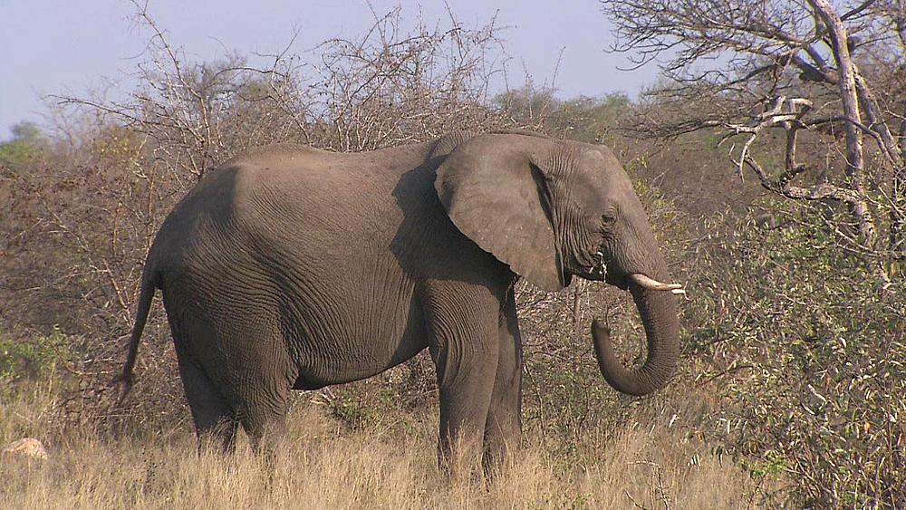 An African Elephant (Loxodonta africana) eating leaves in the African bushveld, bush, dry winter grass. Drought, Africa. South Africa