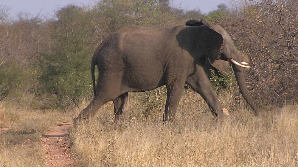 A Bull, male, African Elephant (Loxodonta Africana) walking across a road in the African bushveld, bush, dry winter grass. Drought, Africa. South Africa