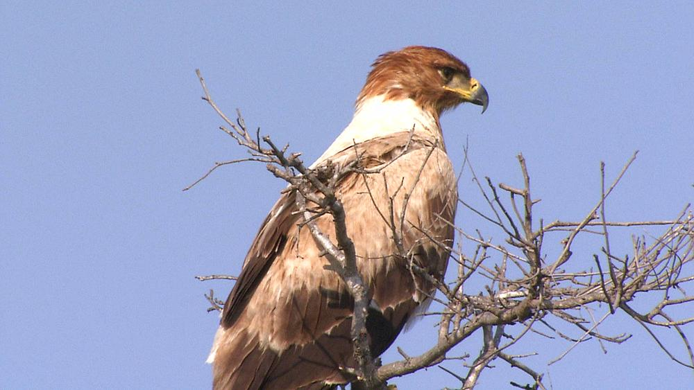 A large Tawny Eagle (Aquila rapax), bird, sitting at the top of a dry tree in the African Bushveld, Bush, South Africa  - 1182-56