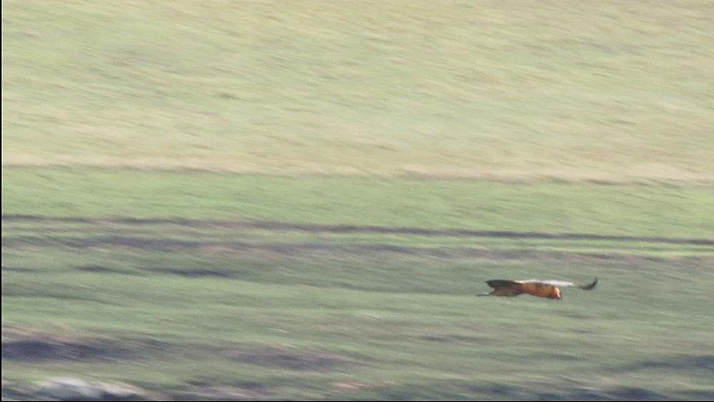 Bearded Vulture, (Gypaetus barbatus), lammergeier or ossifrage, Bird of Prey hunting, flying, in flight, Lesotho, Africa - 1182-90