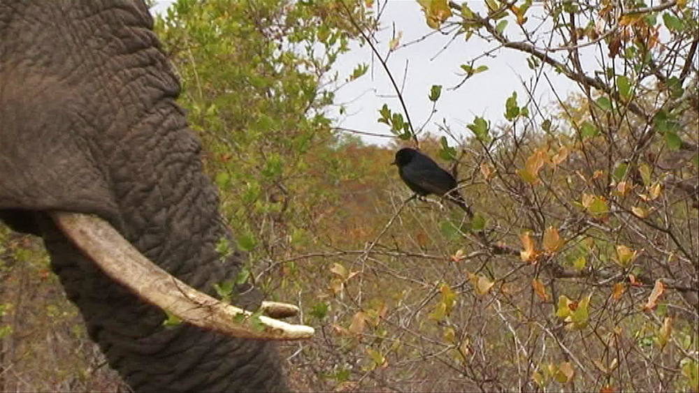 Bird in a tree next to a Male African Elephant (Loxodonta africana) in the African bush veld, Elephant's penis is extended, Hoedspruit, South Africa - 1182-91