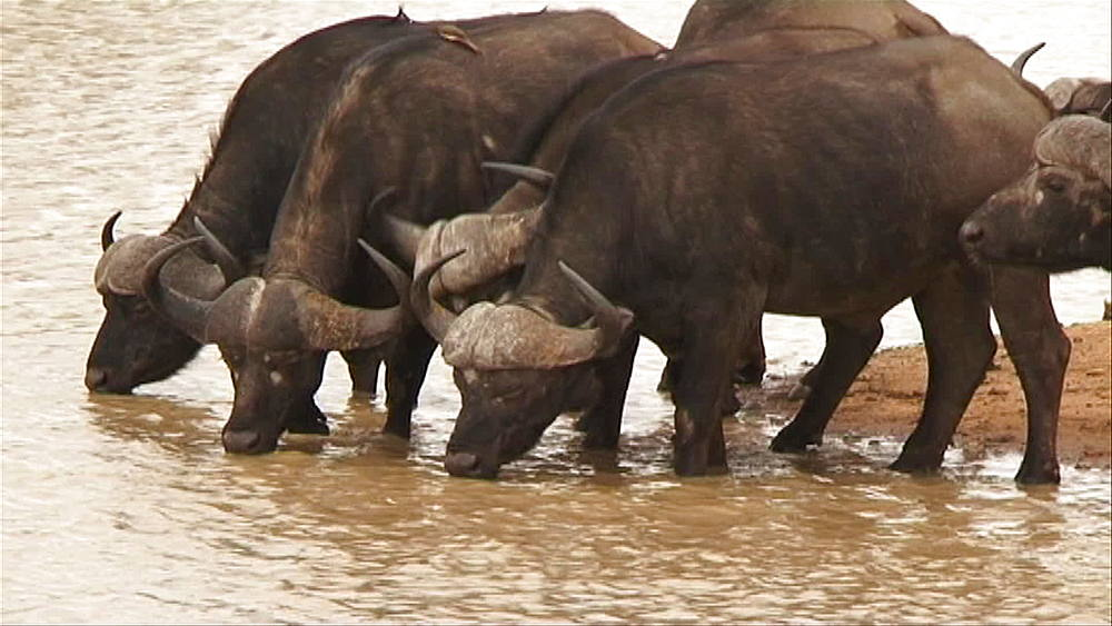 Herd of African buffalo or Cape buffalo (Syncerus caffer) standing in and drinking water at a muddy waterhole in Hoedspruit, South Africa - 1182-92