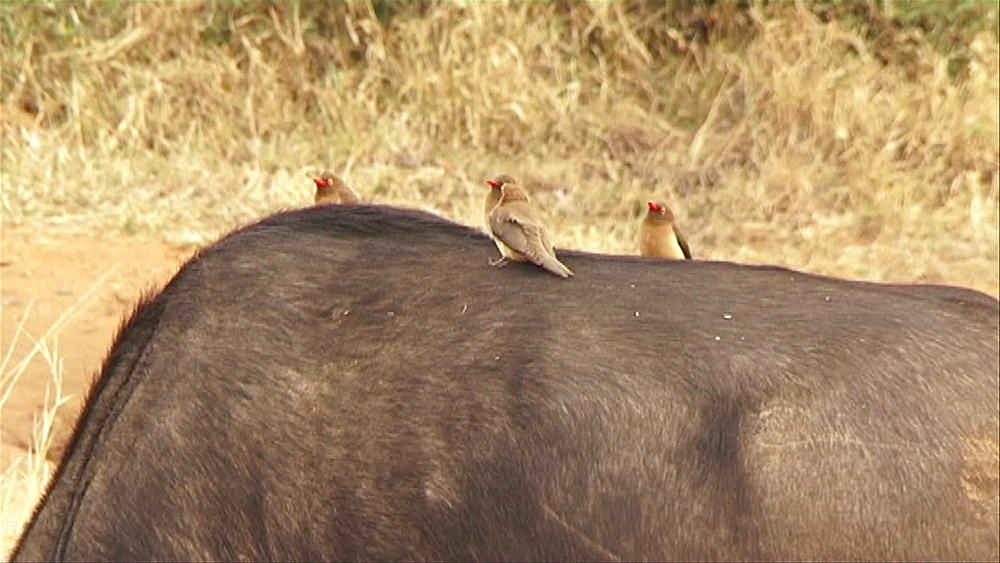 4 red-billed ox-peckers (Buphagus erythrorhynchus) standing on the back of an African buffalo or Cape buffalo (Syncerus caffer) in Hoedspruit, South Africa - 1182-94