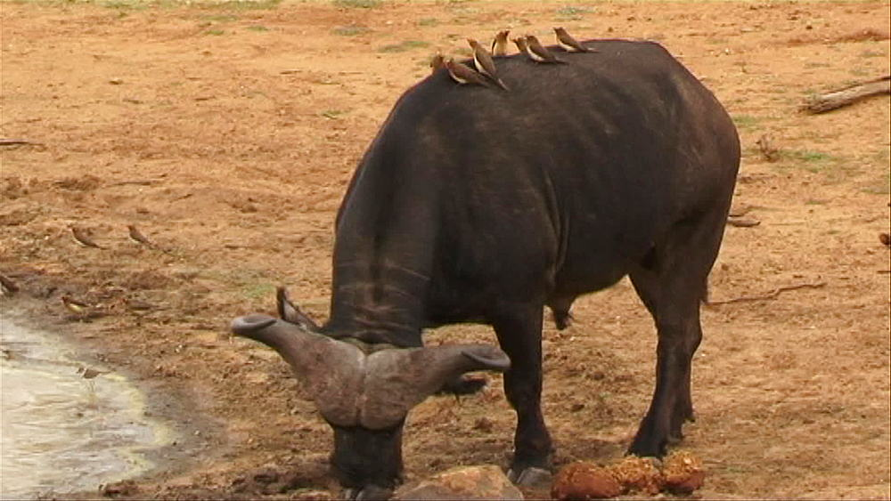 An African buffalo or Cape buffalo (Syncerus caffer) walking to a muddy waterhole to drink water in Hoedspruit, Five (5) red-billed ox-peckers (Buphagus erythrorhynchus) standing on the back, South Africa - 1182-95