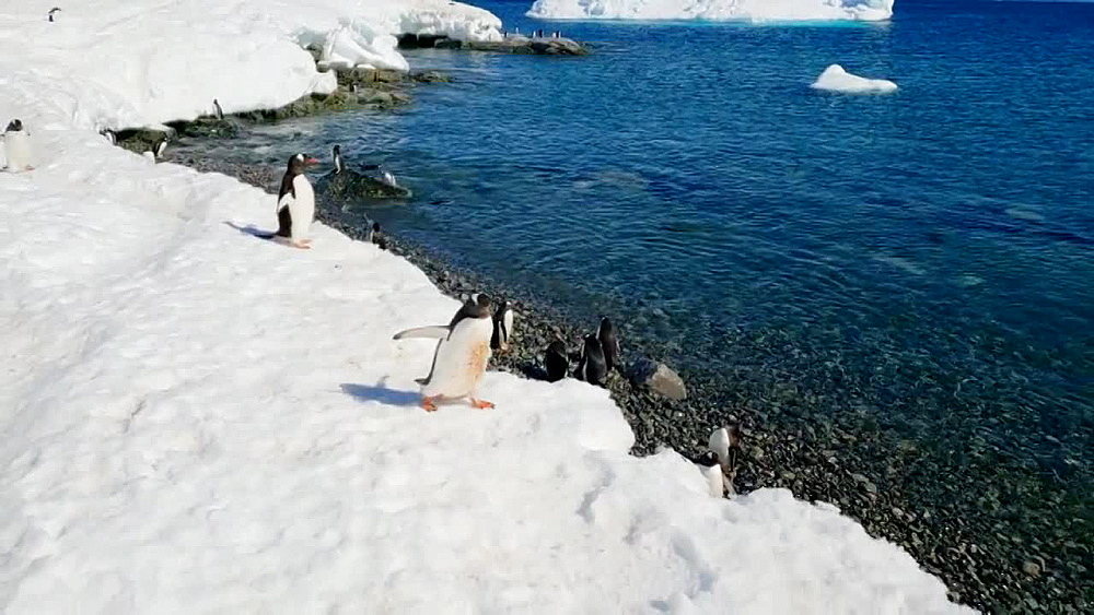 Gentoo penguins on icebergs and swimming in the water, Antarctica, Polar Regions