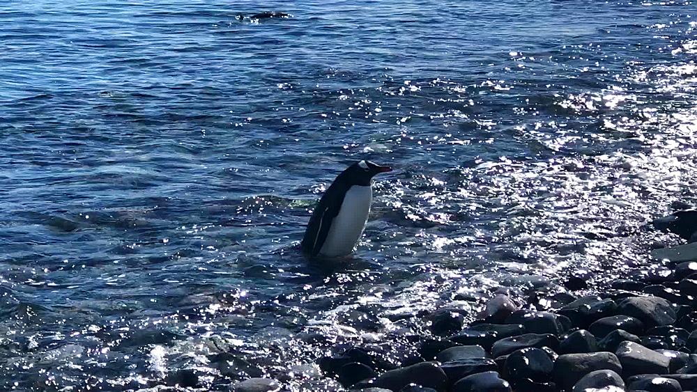 Gentoo penguins chillin in the water of Antarctica, Polar Regions - 1218-920