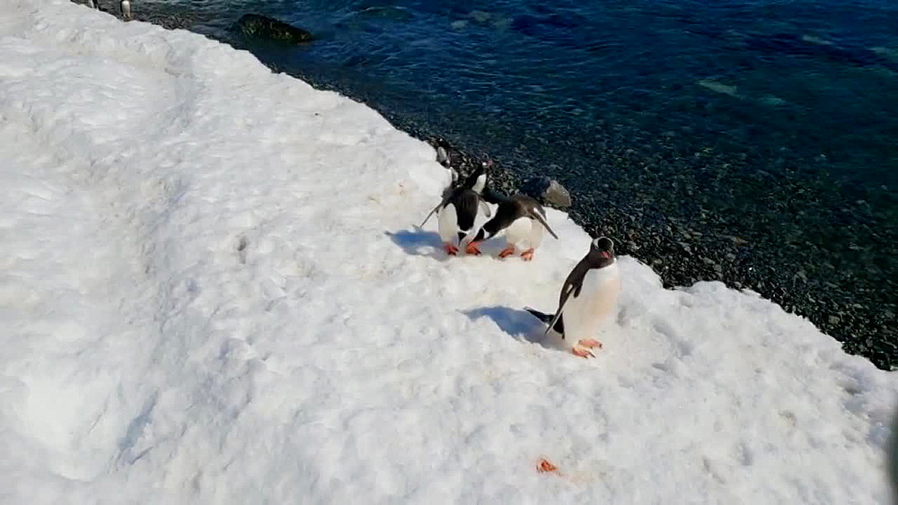 Gentoo penguins waddling on ice in Antarctica - 1218-930