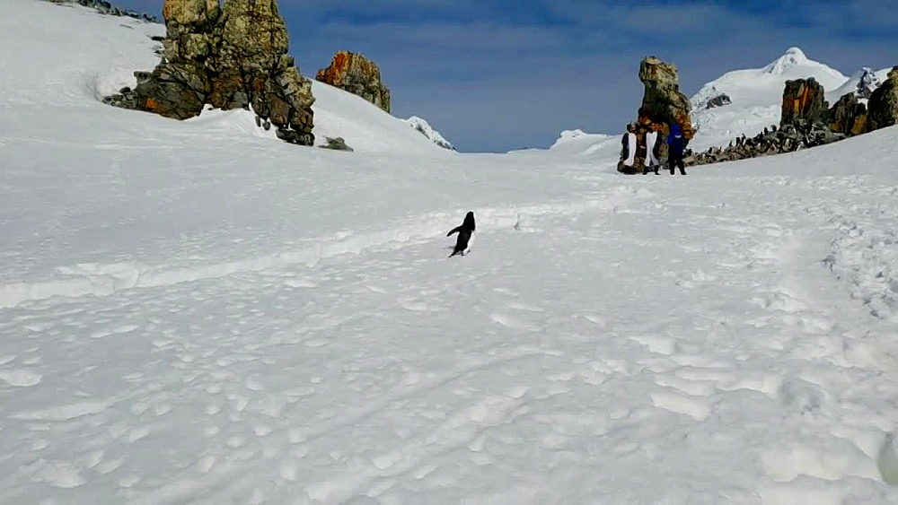 Chinstrap Penguin hopping on ice in Antarctica - 1218-931