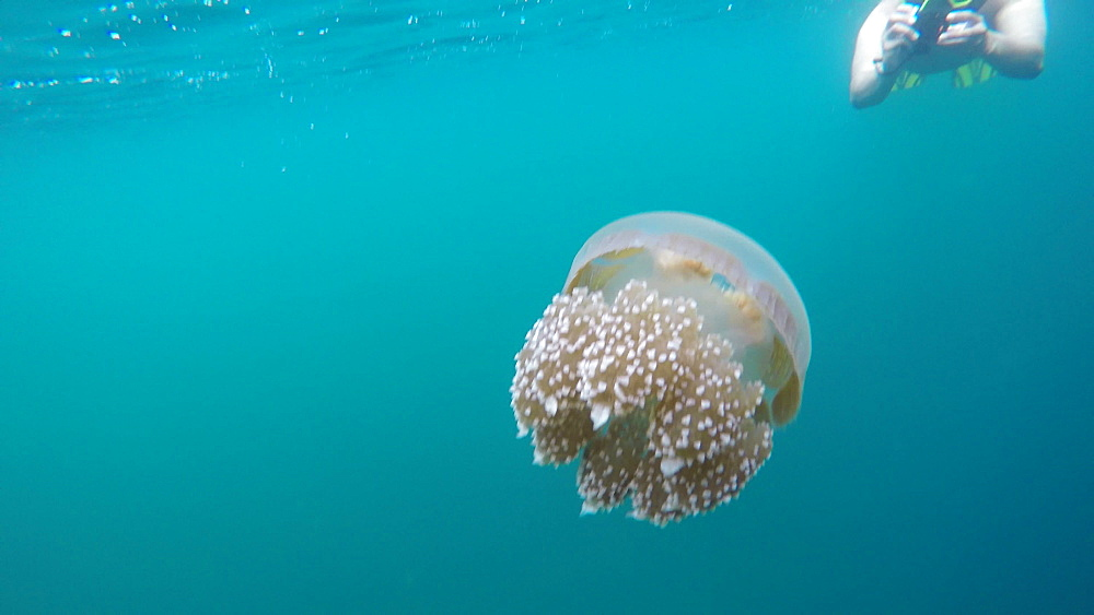 Jelly Fish Lake ? Go Pro Underwater Snorkeling with jellyfish - 1218-943