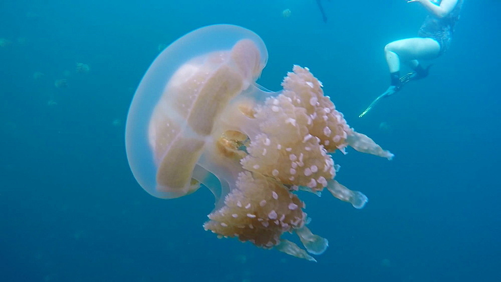 Jelly Fish Lake ? Go Pro Underwater Snorkeling with jellyfish - 1218-945