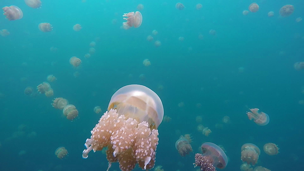 Jelly Fish Lake ? Go Pro Underwater Snorkeling with jellyfish - 1218-946