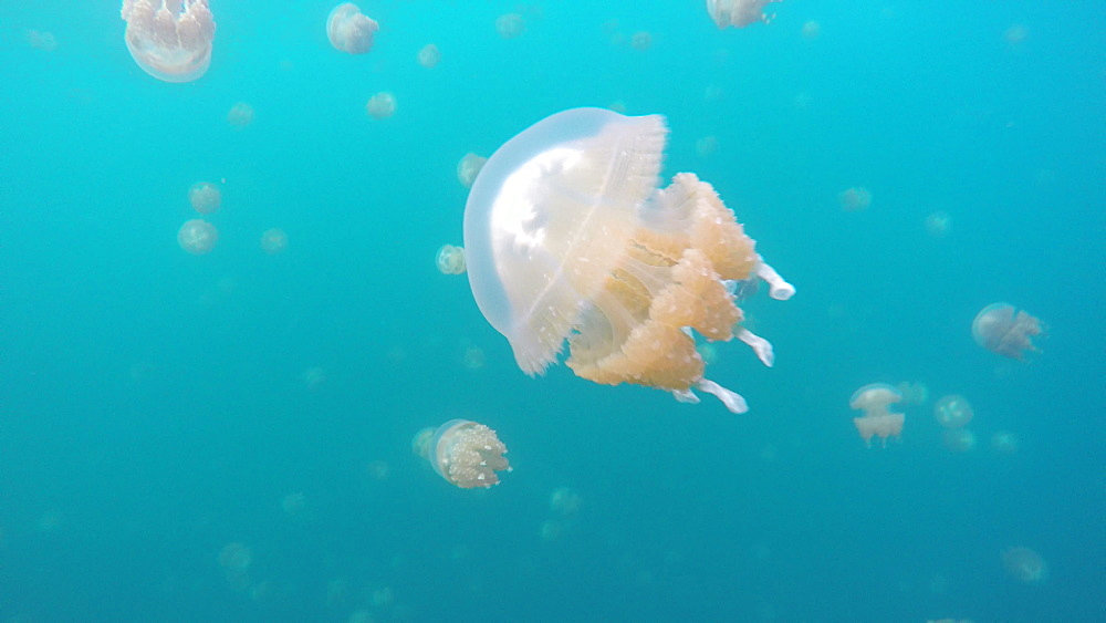 Jelly Fish Lake ? Go Pro Underwater Snorkeling with jellyfish - 1218-948