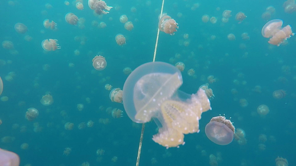 Jelly Fish Lake ? Go Pro Underwater Snorkeling with jellyfish - 1218-951