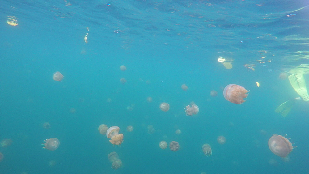 Jelly Fish Lake ? Go Pro Underwater Snorkeling with jellyfish - 1218-955