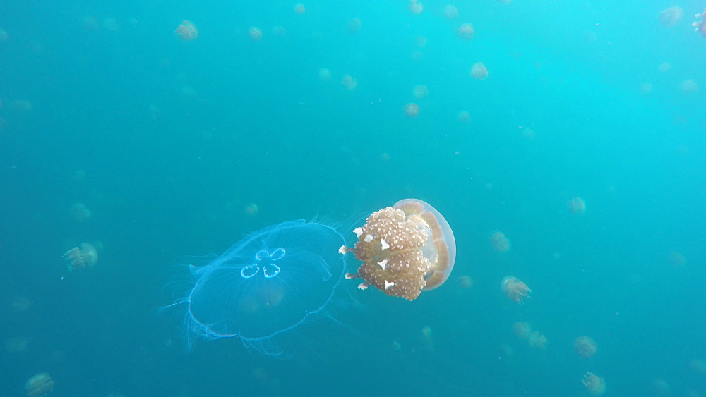 Jelly Fish Lake ? Go Pro Underwater Snorkeling with jellyfish - 1218-959