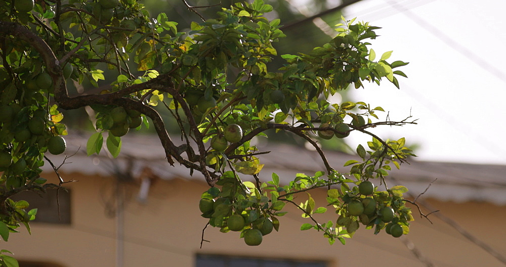 Fruit Tree, Gouyave, Grenada, West Indies, Caribbean, Central America