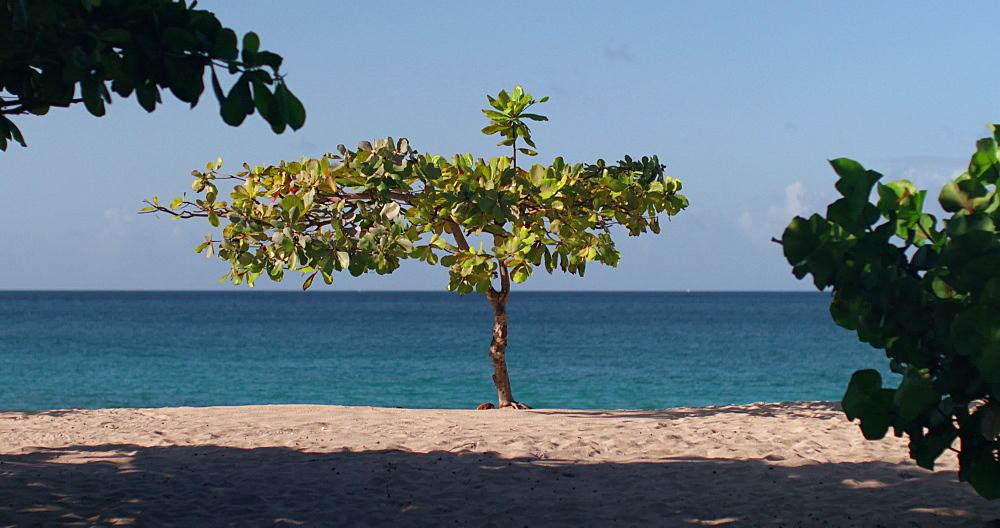 Exotic Tree on Magazine Beach, Grenada, West Indies, Caribbean, Central America