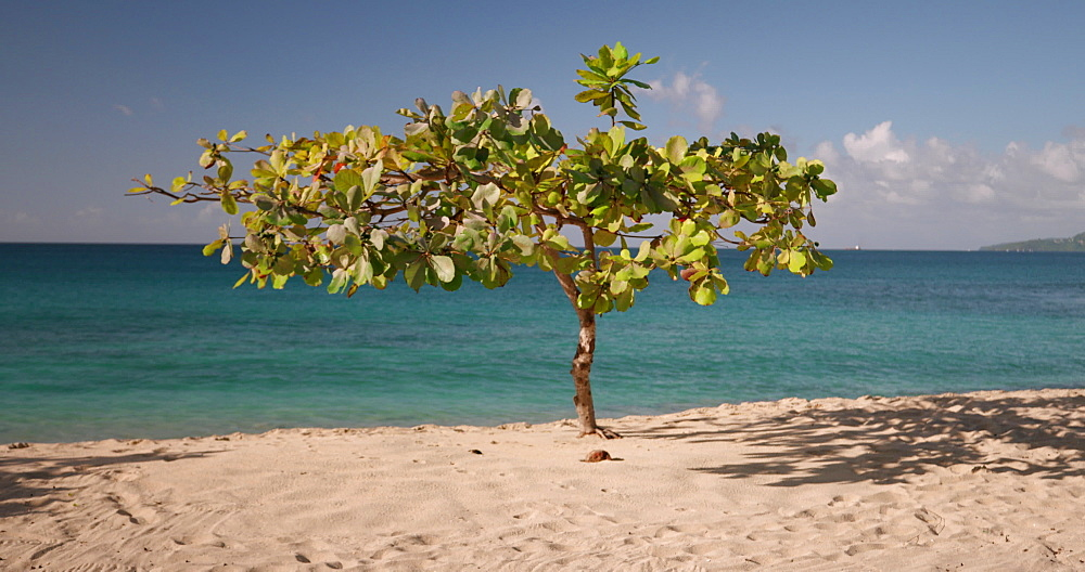 Exotic Tree on Magazine Beach, Grenada, Caribbean, West Indies.